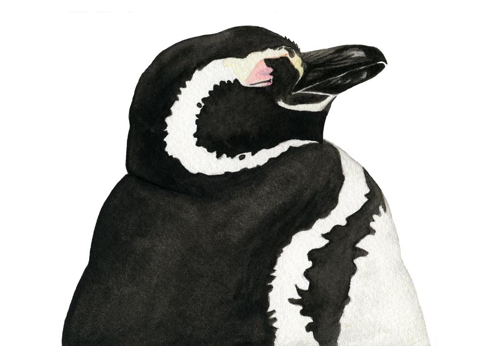 Chile 02 penguin - studio katipeifer