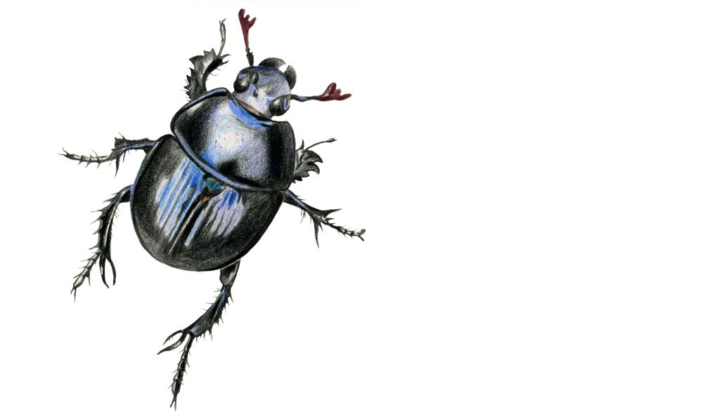 Spa travel illustrations 03 dor beetle - studio katipeifer